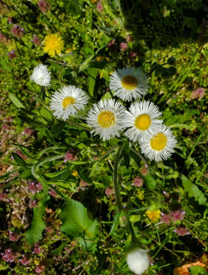 Small white daisies with narrow petals and a yellow center