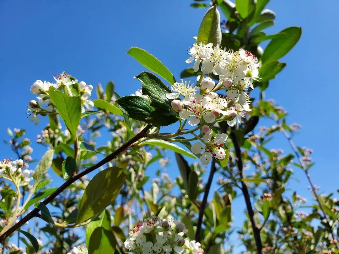 Shrub with clusters of white flowers