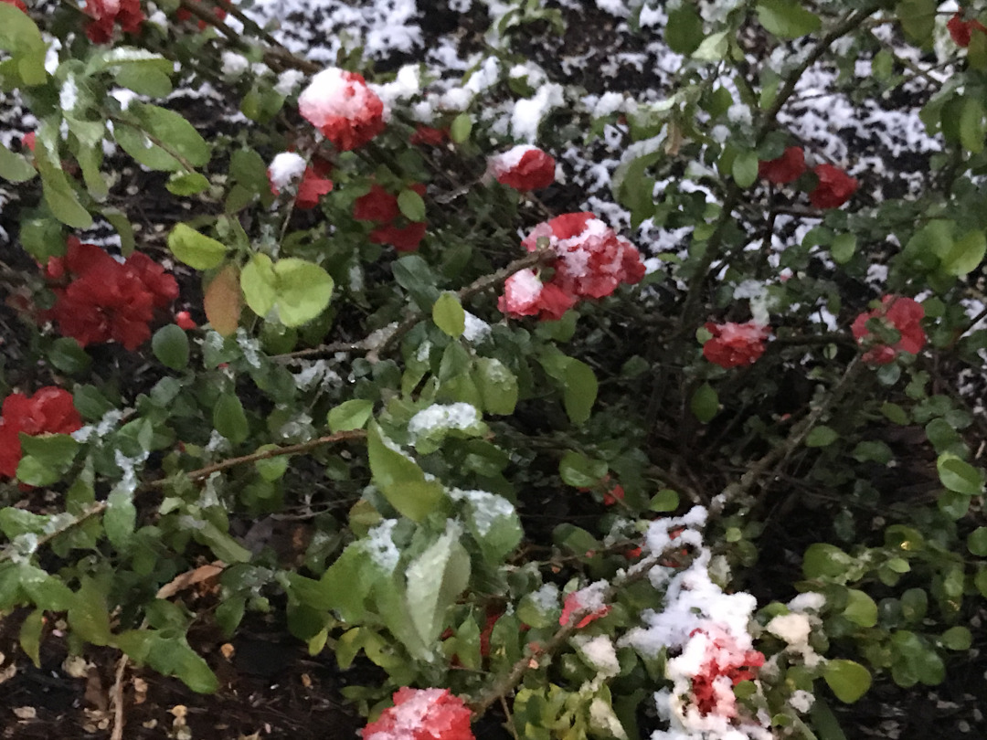 flowering quince covered in snow