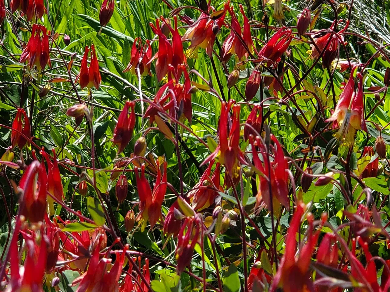 Cluster of red columbine flowers