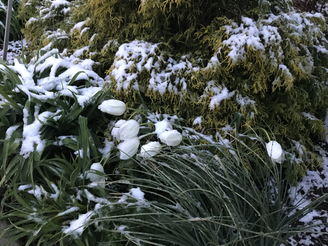 White tulips falling over from snow