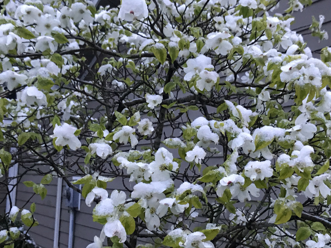 variegated dogwood dusted with snow