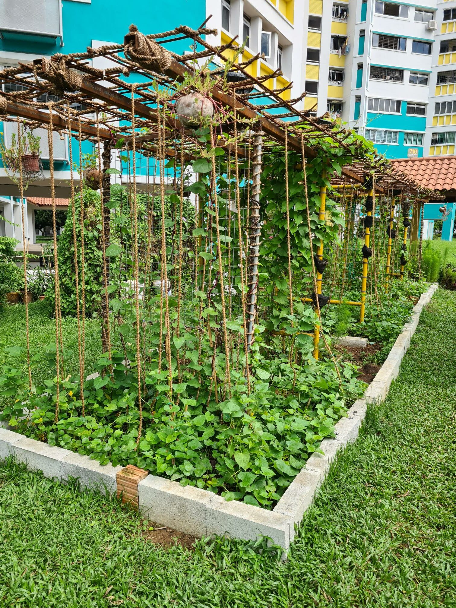 garden beds with a trellis and many vines