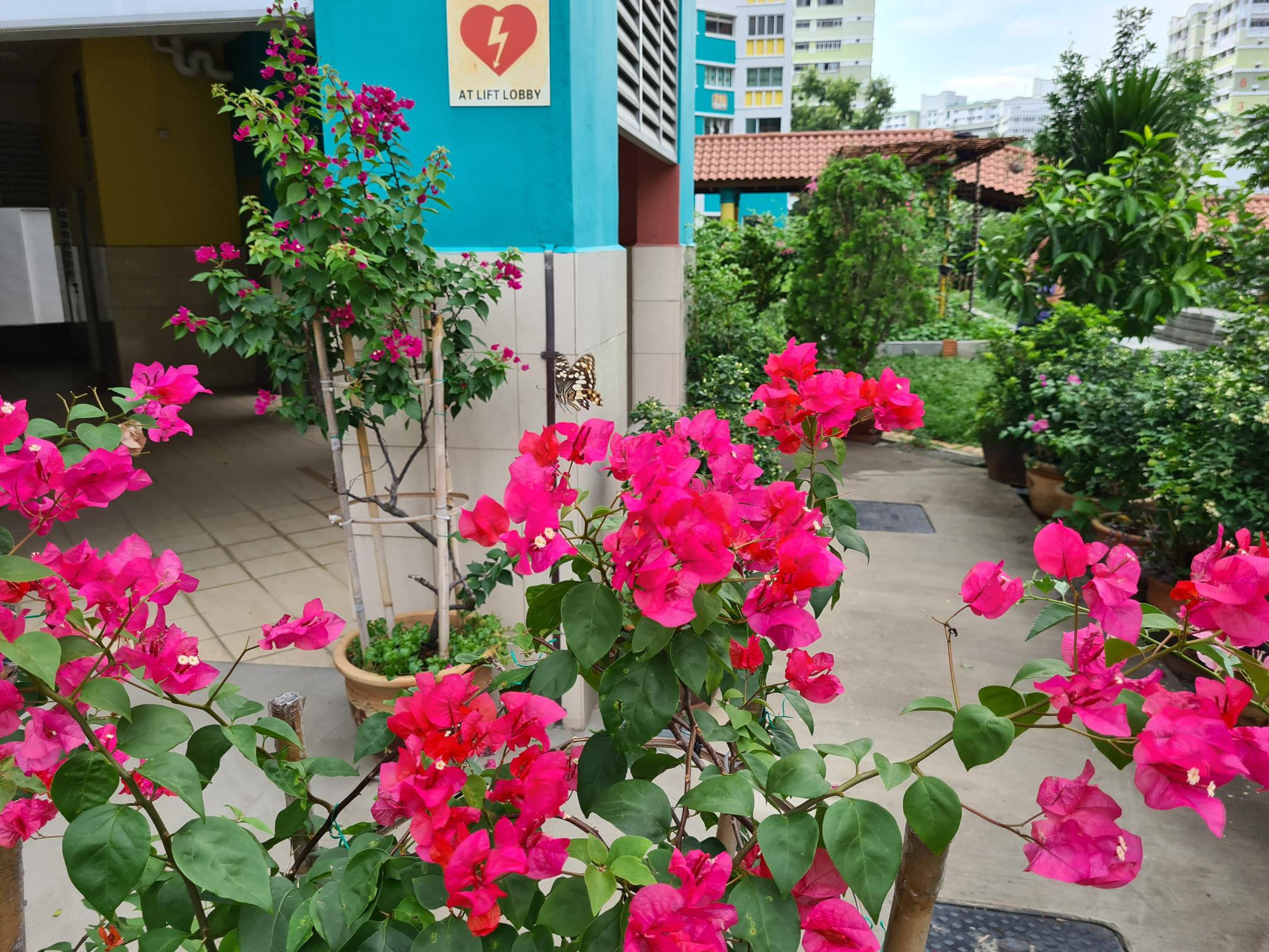 bright pink Bouganvillea with cityscape in the background