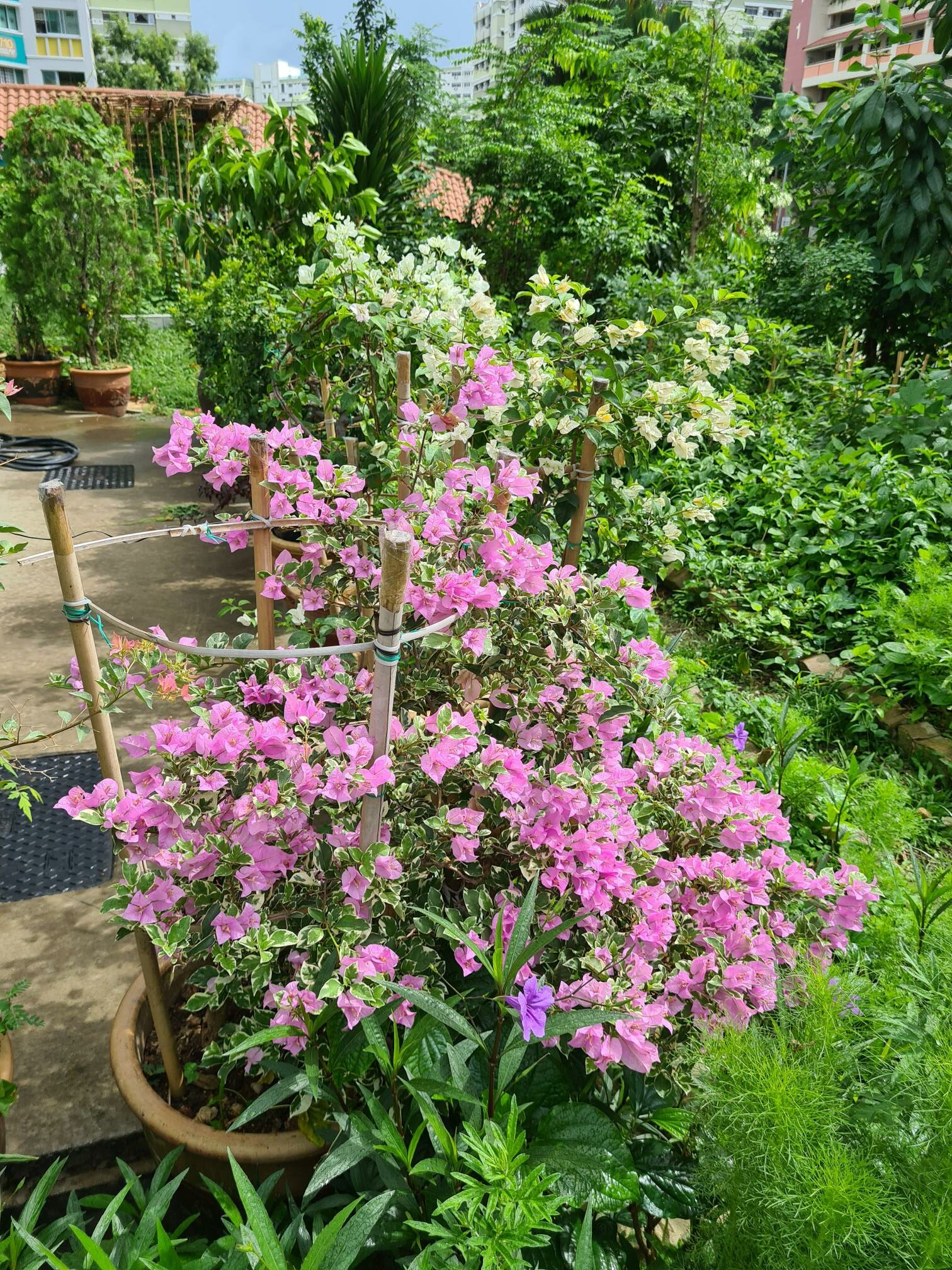 Bouganvillea with light pink flowers and variegated foliage